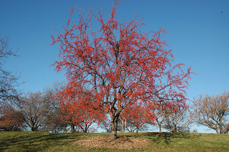 red splendor flowering crab  malus  u0026 39 red splendor u0026 39   in inver grove heights  minnesota  mn  at gertens