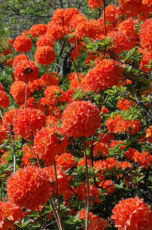 Mandarin Lights Azalea Rhododendron Mandarin Lights In