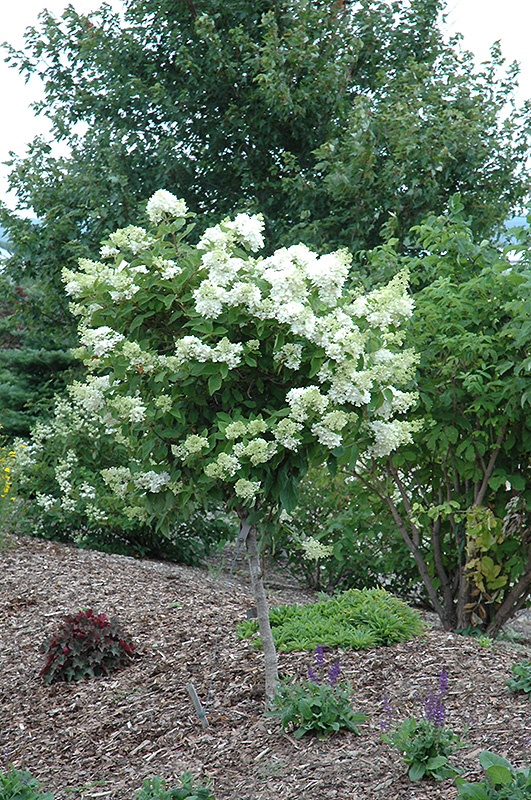 Pink Diamond Hydrangea Tree Form Hydrangea Paniculata