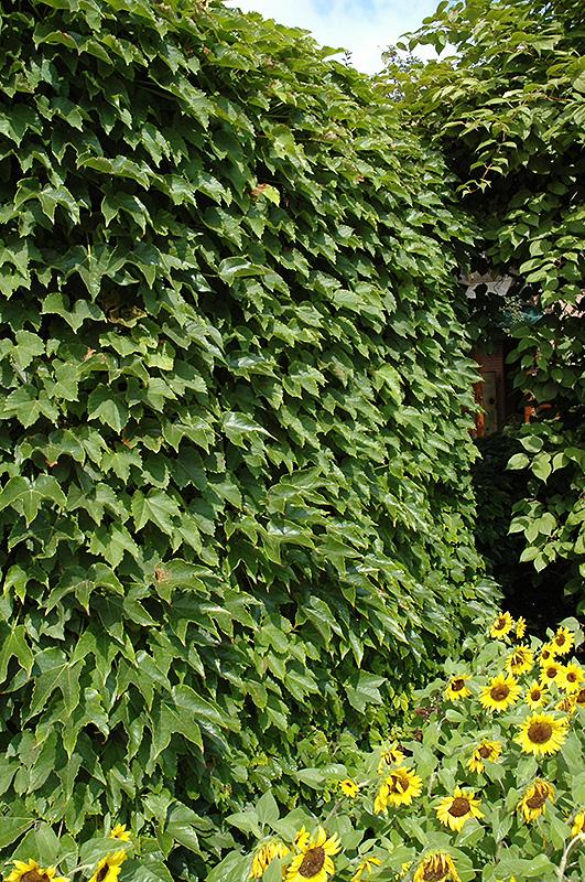 Boston Ivy Parthenocissus Tricuspidata In Inver Grove
