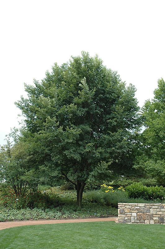 Best Lawn Fertilizer >> New Horizon Elm (Ulmus 'New Horizon') in Inver Grove Heights, Minnesota (MN) at Gertens