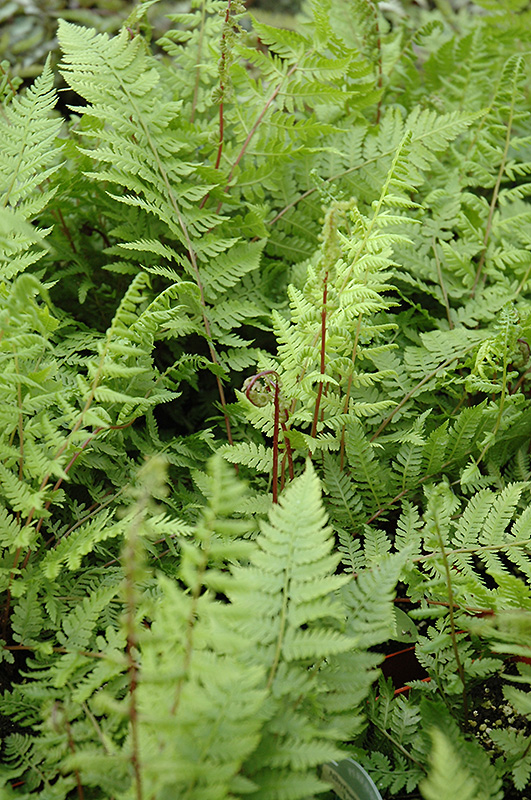 Lady In Red Fern Athyrium Filix Femina Lady In Red In Inver Grove Heights Minnesota Mn At