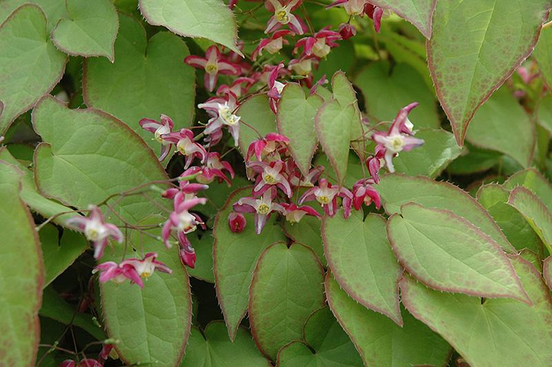 Best Lawn Fertilizer >> Red Epimedium (Epimedium x rubrum) in Inver Grove Heights ...