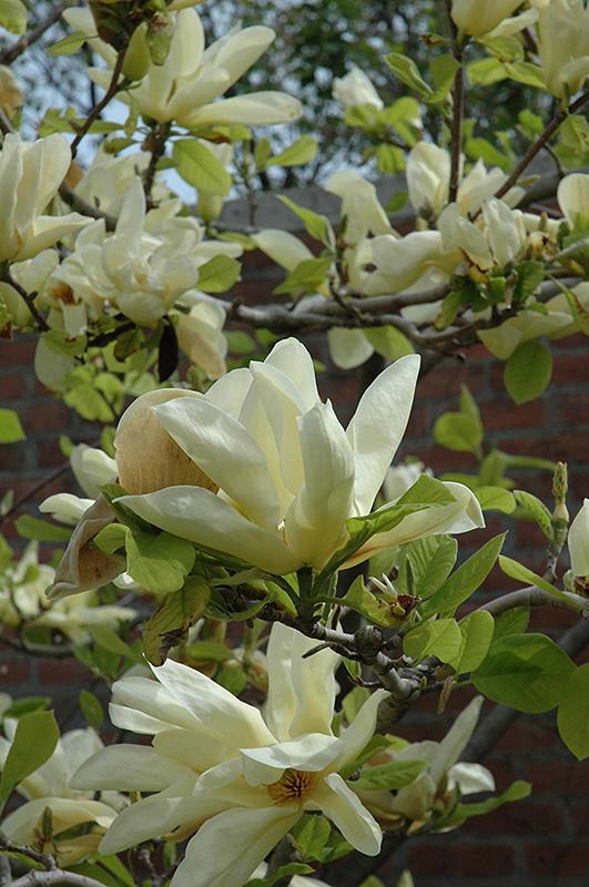 Best Lawn Fertilizer >> Elizabeth Magnolia (Magnolia 'Elizabeth') in Inver Grove Heights, Minnesota (MN) at Gertens