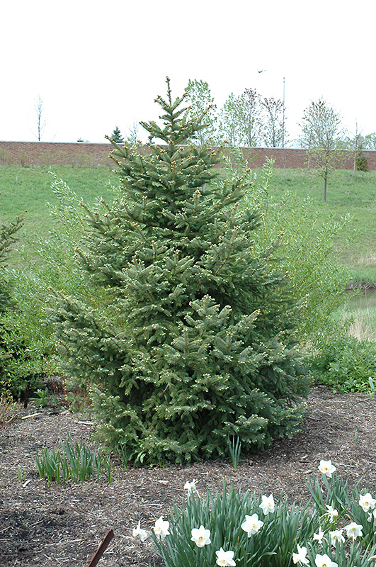 Best Lawn Fertilizer >> Meyer's Blue Spruce (Picea meyeri) in Inver Grove Heights, Minnesota (MN) at Gertens