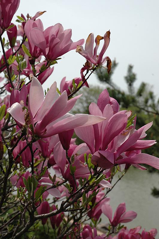 Best Lawn Fertilizer >> Ann Magnolia (Magnolia 'Ann') in Inver Grove Heights ...