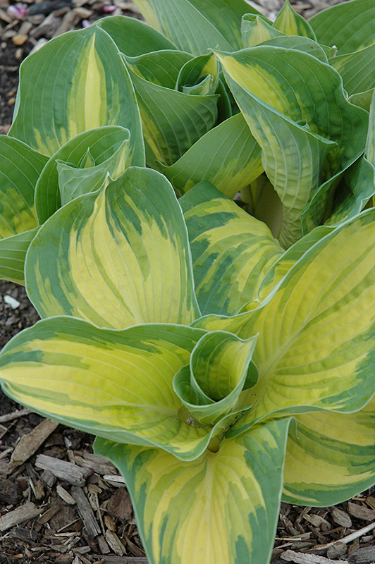 Great Expectations Hosta Hosta Great Expectations In