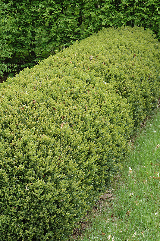 Green Gem Boxwood Buxus Green Gem In Inver Grove