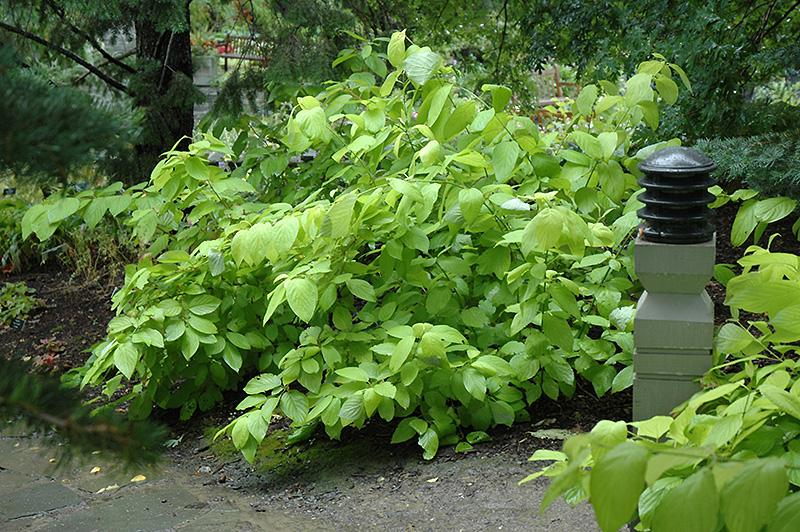 Garden Glow Dogwood Cornus Hessei Garden Glow In Inver
