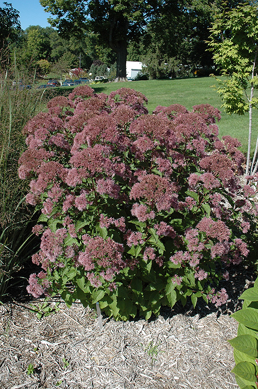 Best Lawn Fertilizer >> Little Joe Dwarf Joe Pye Weed (Eupatorium maculatum ...