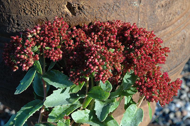 Munstead Dark Red Stonecrop Sedum Telephium At Gertens