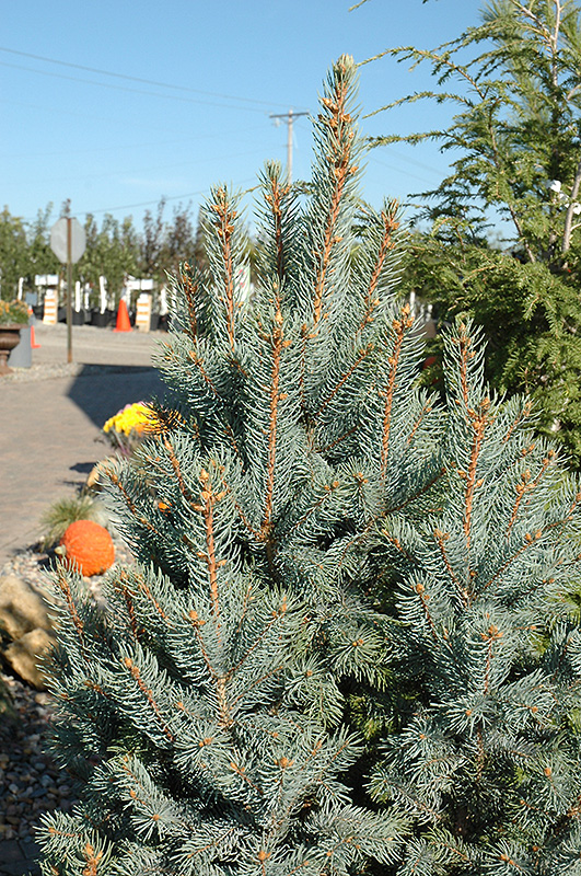 Iseli Columnar Colorado Blue Spruce Picea Pungens Iseli Fastigiata