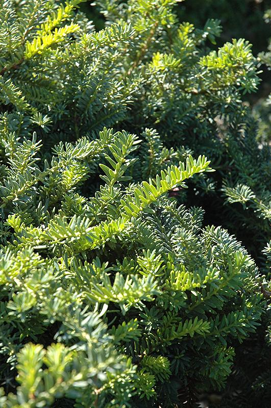 Emerald Spreader Yew Taxus Cuspidata Emerald Spreader
