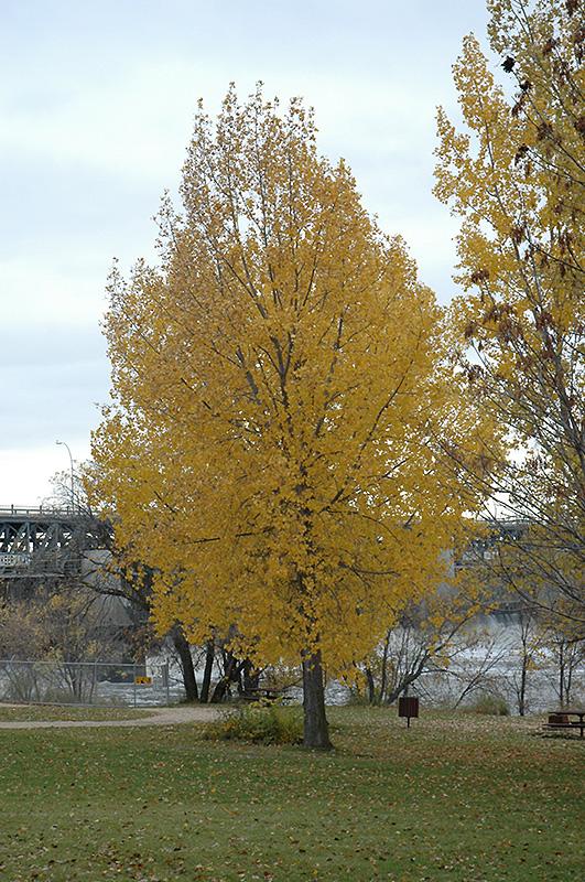 Siouxland Poplar Populus Deltoides Siouxland In Inver