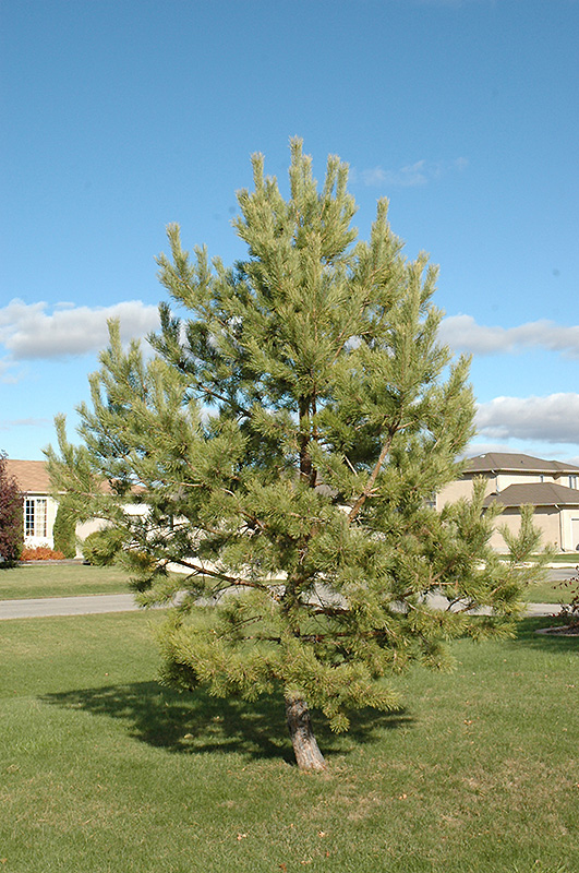 French Blue Scotch Pine Pinus Sylvestris