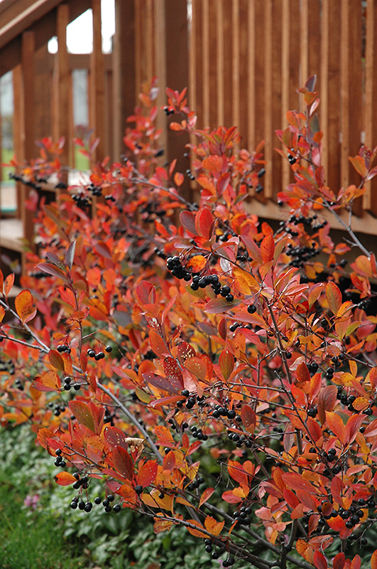 Autumn Magic Black Chokeberry Aronia Melanocarpa Autumn