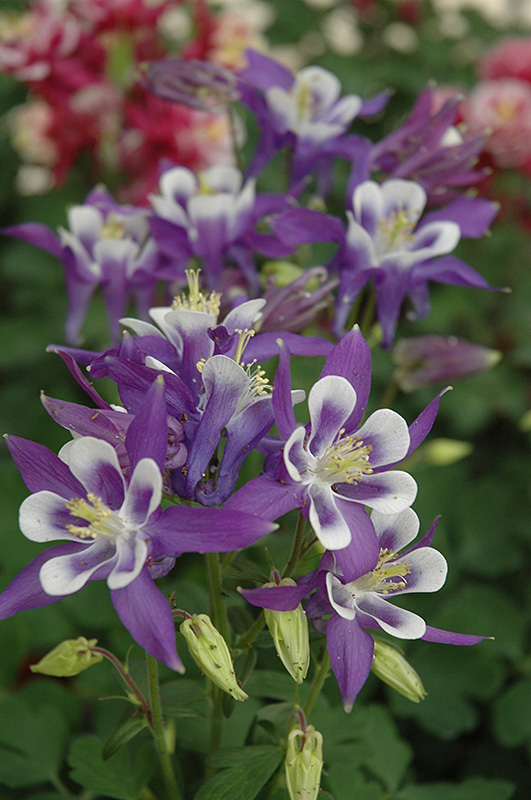 Best Lawn Fertilizer >> Winky Blue And White Columbine (Aquilegia 'Winky Blue And ...