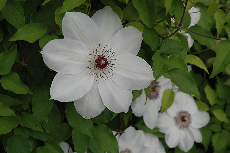 Best Lawn Fertilizer >> Henryi Hybrid Clematis (Clematis 'Henryi') in Inver Grove ...