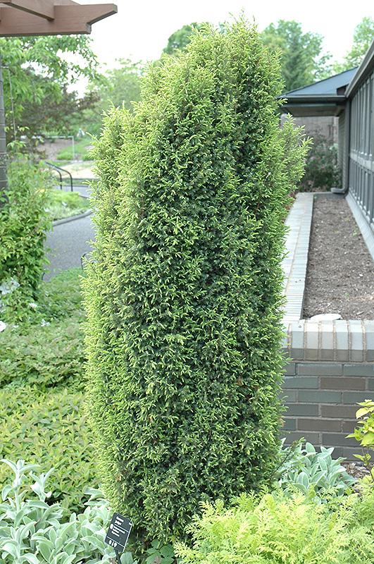 Gold Cone Juniper Juniperus Communis Gold Cone In