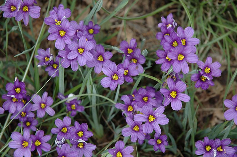 Lucerne Blue Eyed Grass Sisyrinchium Angustifolium