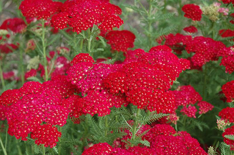 Pomegranate Yarrow Achillea Millefolium Pomegranate In