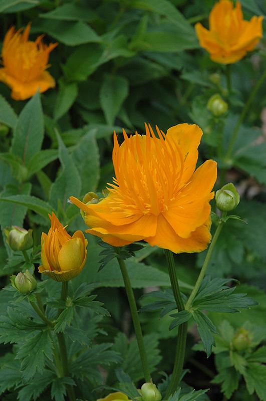 Golden Queen Globeflower Trollius Chinensis Golden Queen
