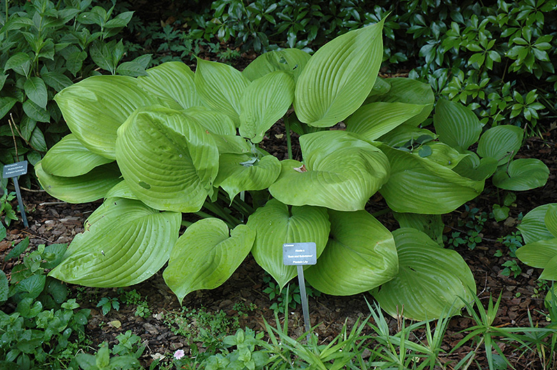 Sum And Substance Hosta At Gertens