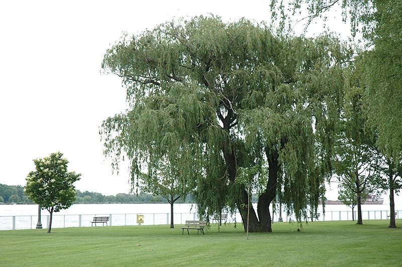 Niobe Golden Weeping Willow Salix Alba Niobe In Inver