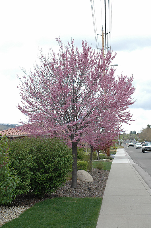 Eastern Redbud Cercis Canadensis In Inver Grove Heights