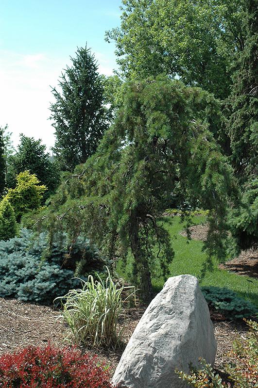 Uncle Fogy Jack Pine Pinus Banksiana