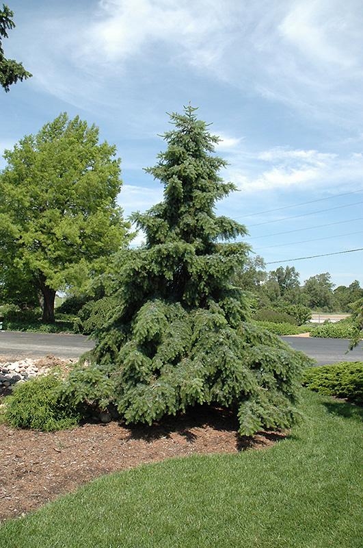 Weeping Serbian Spruce Picea Omorika Pendula In Inver