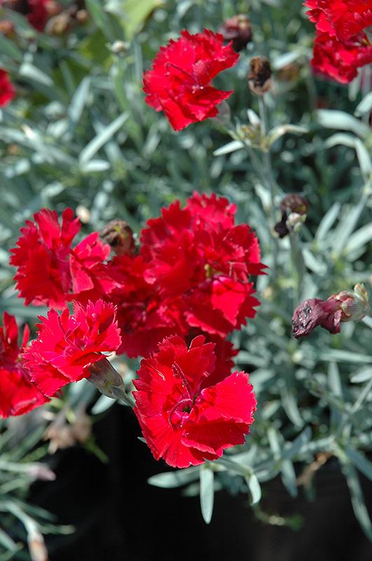 Fire Star Pinks Dianthus Devon Xera In Inver Grove