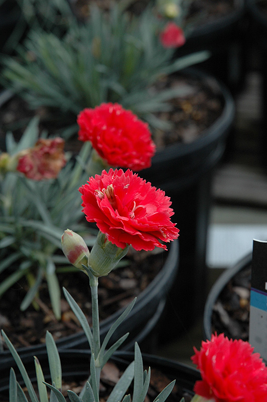 Early Bird Chili Pinks Dianthus Wp10 Sab06 In Inver