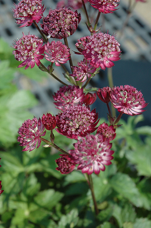 Best Lawn Fertilizer >> Star Of Fire Masterwort (Astrantia major 'Star Of Fire ...