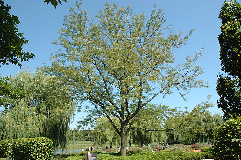 Skyline Honeylocust Gleditsia Triacanthos Skycole In