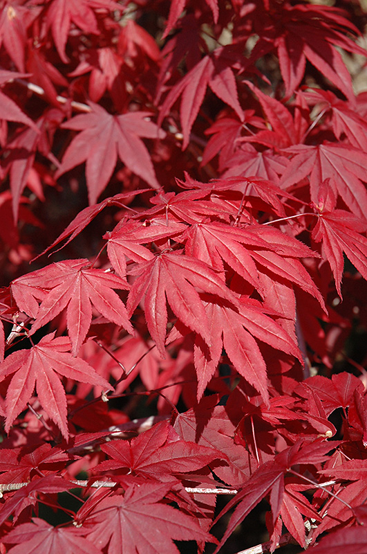 Emperor I Japanese Maple Acer Palmatum Wolff In Inver Grove Heights Minnesota Mn At Gertens