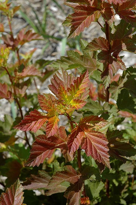Amber Jubilee Ninebark Physocarpus Opulifolius Jefam