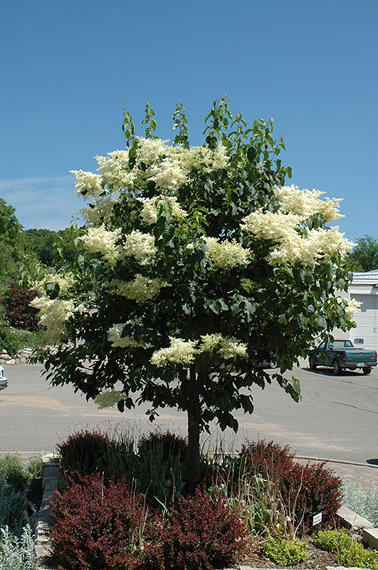 First Editions 174 Snowdance Japanese Tree Lilac Syringa