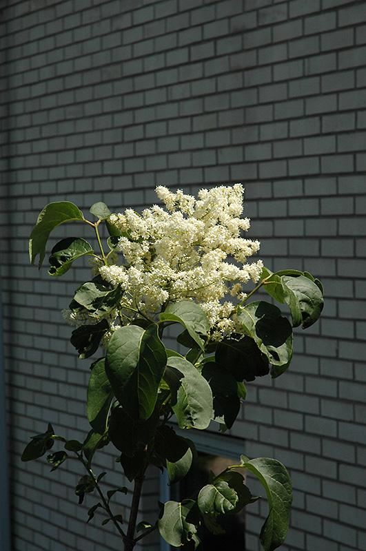 Snowcap Japanese Tree Lilac Syringa Reticulata Elliott