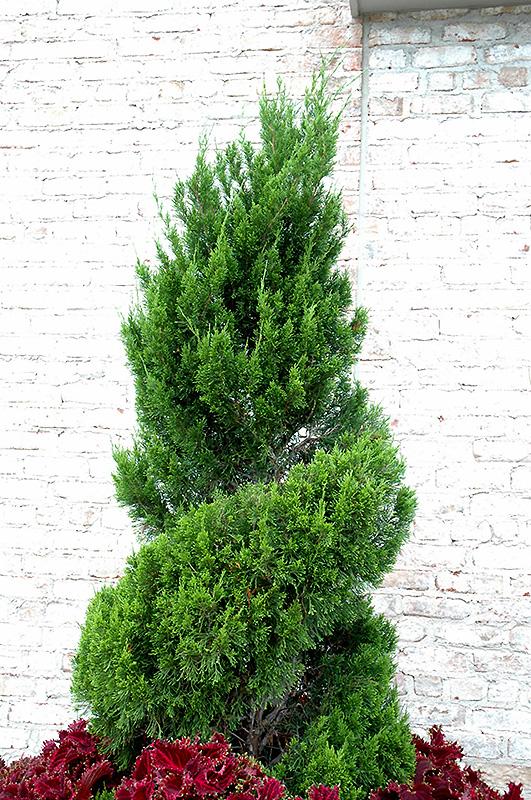 Spartan Juniper Spiral Juniperus Chinensis Spartan