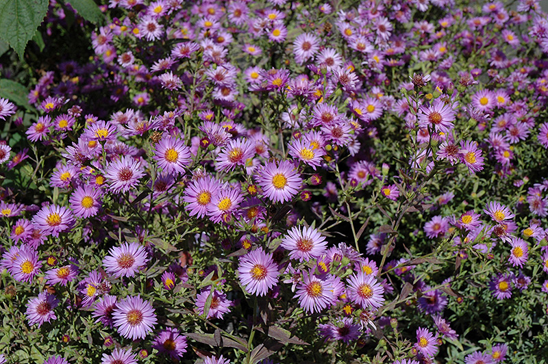 Woods Purple Aster Aster Woods Purple In Inver Grove
