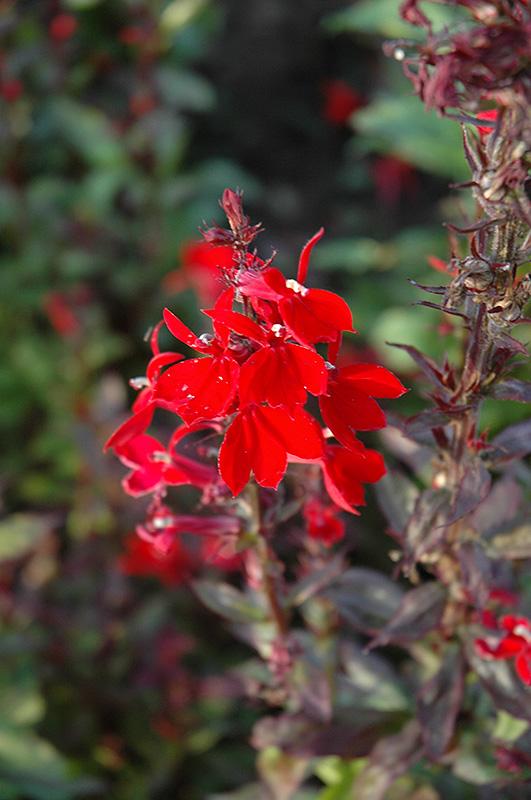 Queen Victoria Cardinal Flower (Lobelia 'Queen Victoria') at Gertens
