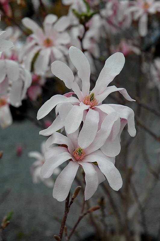 leonard messel magnolia magnolia x loebneri leonard