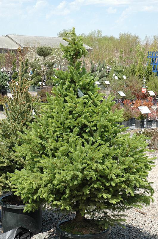 North Star Spruce Picea Glauca North Star In Inver