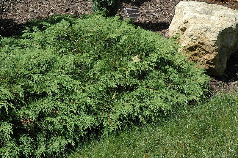 Russian Cypress Microbiota Decussata In Inver Grove