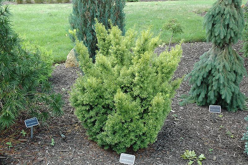 Best Lawn Fertilizer >> Dwarf Bright Gold Yew (Taxus cuspidata 'Dwarf Bright Gold ...