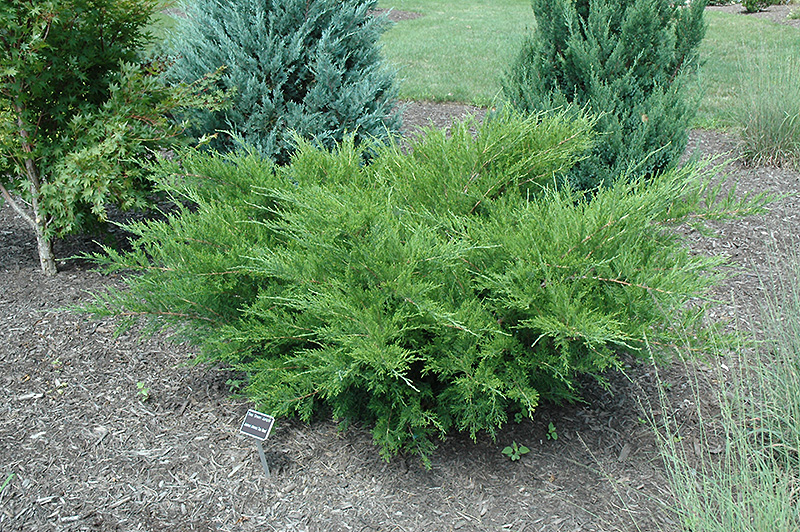 Sea Green Juniper (Juniperus chinensis 'Sea Green') in Inver Grove