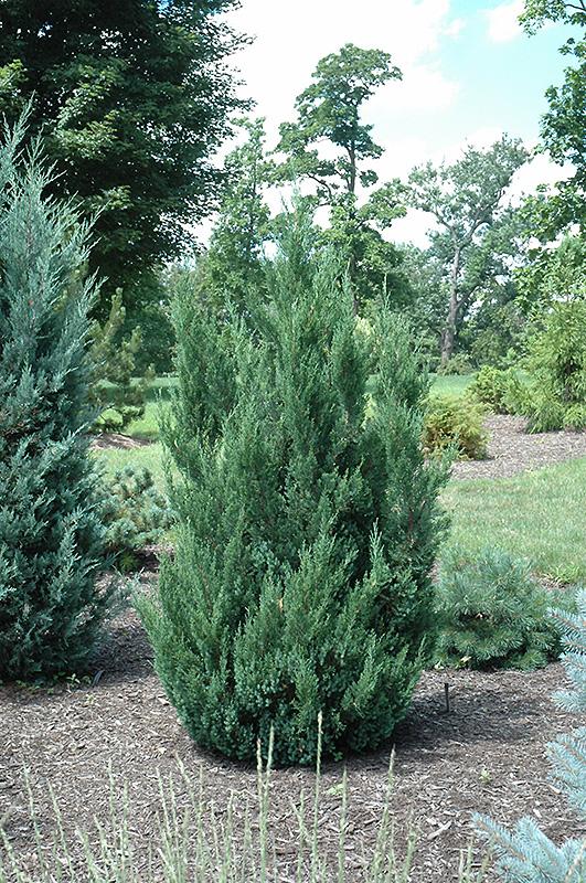 Blue Point Juniper (Juniperus chinensis 'Blue Point') in Inver Grove