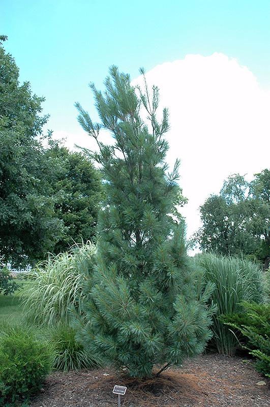 Columnar White Pine (Pinus strobus 'Fastigiata') in Inver ...