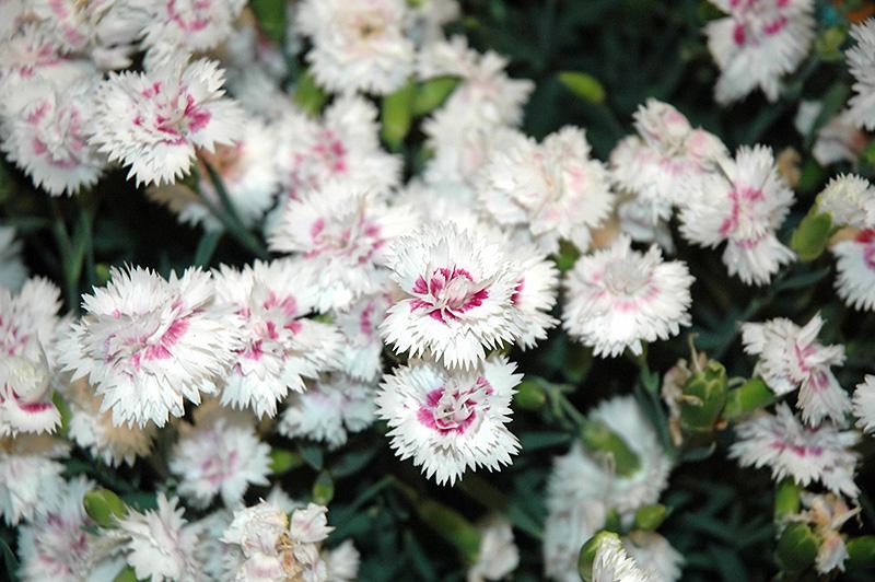 Everlast White Plus Eye Pinks Dianthus Everlast White